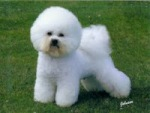 Bichon Frisé (640.photobucket.com)