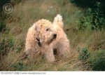 Soft Coated Wheaten Terrier (visualphotos.com)