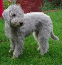 Bedlington Terrier (ashcrofterriers.com)