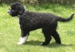 Perro de Agua Portugués (imagejuicy.com)