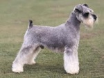 Schnauzer (dooyoo.co.uk)