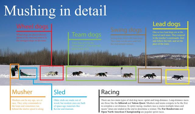 Mushing en detalle: Posiciones y funciones de los perros de trineo