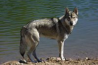 Tamaskan Dog. wikipedia.org