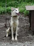 Alaskan Husky. wikipedia.org