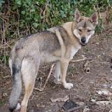 Perro Inuit del Norte. wikipedia.org