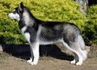 Siberian Husky. wikipedia.org