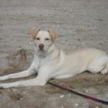 Labrador Husky. razaperro.org