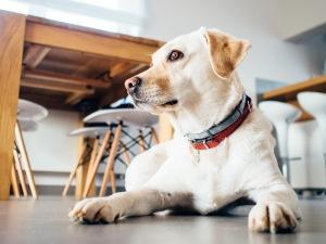 animal-dog-pet-indoors